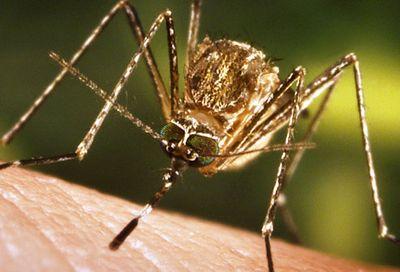 Cdc_photo_of_mosquito_feeding