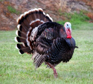 Male-turkey-e
